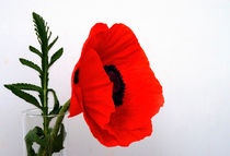 Red poppy against white von Rob Hawkins