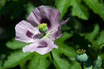 Purple Poppy  by Rob Hawkins
