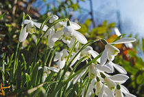 Devon Snowdrops  by Rob Hawkins