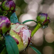 pink peony by digidreamgrafix