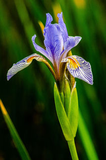 Iris by Barbara Magnuson & Larry Kimball