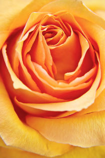 Rose by AD DESIGN Photo + PhotoArt