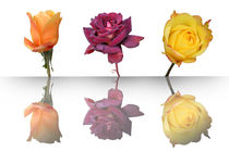 Trio of reflection of roses by photographart