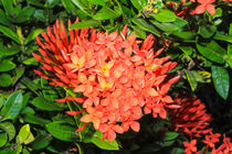 bright red flowers ixora by Craig Lapsley