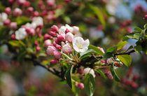 Apfelblüten by Elke Balzen