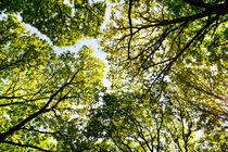 Summer Trees by David Pyatt