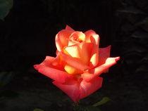 Orange rose... by Henrietta Benjamin