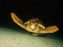 Turtle, Blue Hole, Nassau, Bahamas by Shane Pinder
