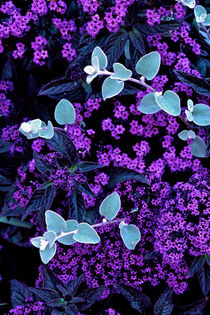 Licorice Plant amid Heliotrope 722 by Patrick O'Leary