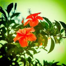 Bildschöne Hibiskusblüte von Gina Koch