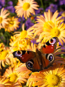 Gartenchrysantheme (Chrysanthemum indicum 'Mary Stroker') und Tagpfauenauge (Inachis io) - Garden chrysanthemum (Chrysanthemum indicum 'Mary Stroker') and peacock butterfly (Inachis io) by botanikfoto