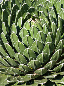 Agave (Agave victoriae-reginae) von botanikfoto