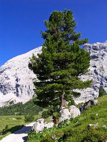 Zirbe (Pinus cembra), Naturschutzgebiet Wettersteingebirge, Deutschland - Arolla pine (Pinus cembra), Wettersteingebirge Nature Reserve, Germany by botanikfoto