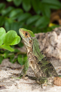 Green Iguana at the beach von Craig Lapsley