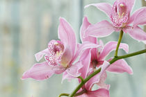 Rosa Orchidee -pink orchid von lisa-glueck