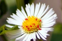 Little-reds-on-white-ox-eye-daisy-flower