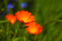 050612-orange-daisy-hdr-00