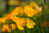 050612-orange-welsh-poppy-03