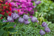 052513-multi-purple-tulip-01