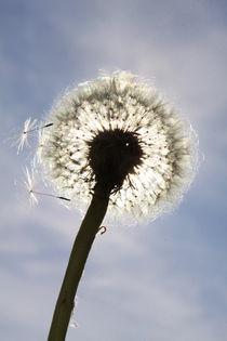 Pusteblume im Sonnenlicht (01) von Karina Baumgart