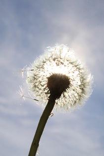 Pusteblume im Sonnenlicht (02) von Karina Baumgart