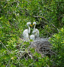 Great Egret Chicks by Louise Heusinkveld