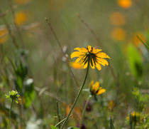 Black Eyed Susan by Louise Heusinkveld