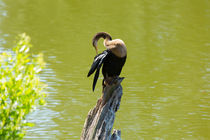 Anhinga Grooming Feathers by Louise Heusinkveld