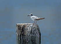 Forsters Tern by Louise Heusinkveld