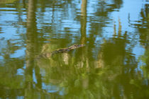 Gator-swimming0359
