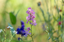 Rocket Larkspur in a wildflower meadow by Louise Heusinkveld