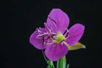 miniature purple flower von Craig Lapsley