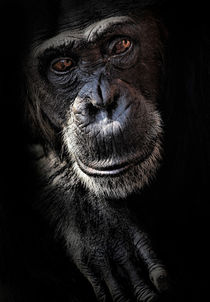 Portrait of a chimpanzee von Sheila Smart