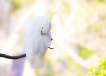 Sulphur crested cockatoo preening by Sheila Smart