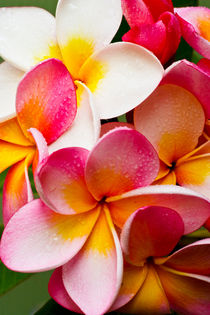 Pink frangipani by Sheila Smart