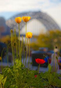 Poppies-and-bridge