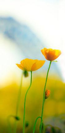 Poppy-oblong-rb-2