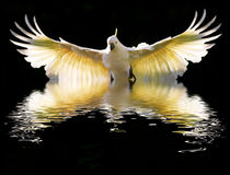 Sulphur-crested-cockatoo-rising-for-print