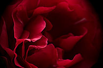 Red Rose Macro by Jacqi Elmslie