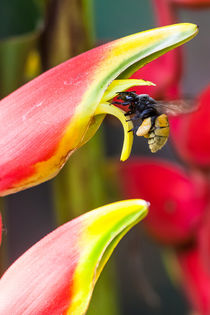 Tropical bee on a heliconia flower by Craig Lapsley