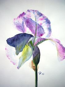 Iris-40-x-50