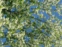 Weisse Blüten by Elke Balzen