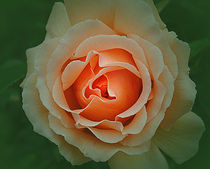 Glorious-roses-5543
