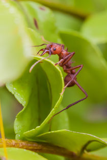 Leafcutter ant at work von Craig Lapsley