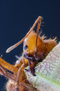 leafcutter ant jaws by Craig Lapsley