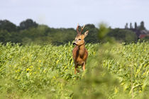 Rehbock im Feld - Roe buck in the field by ropo13