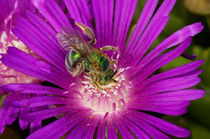 Sweat Bee by Barbara Magnuson & Larry Kimball