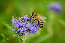 Inbe-0113-2-honey-bee-apis-mellifera