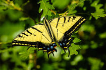 Two-tailed Swallowtail Butterfly by Barbara Magnuson & Larry Kimball