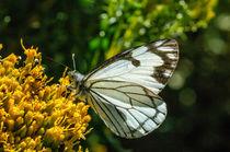 Inbf-0144-pine-white-butterfly-neophasia-menapia